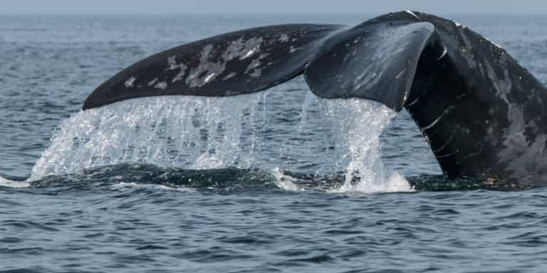 North Atlantic right whale tail above the water photographed in the Gulf of Saint Lawrence, New Brunswick, Canada. / Credit: Nick Hawkins
