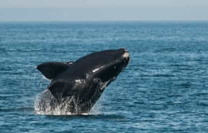 North Atlantic right whale (Eubalaena glacialis) breaching in the Bay of Fundy, New Brunswick, Canada. / Credit: Nick Hawkins